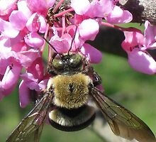 Bumblebee on Redbud blossoms by ChuckBuckner