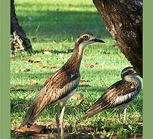 Curlews  by jono johnson