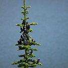 Tree Top of Lake Minnewanka by Pam Hogg