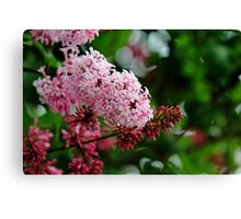 Showy Pink Lilacs Canvas Print