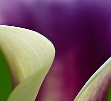 Curves of Calla Lily by Christine Kapler