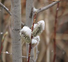 Snowy Willows by Kathi Arnell