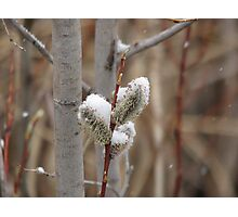 Snowy Willows Photographic Print