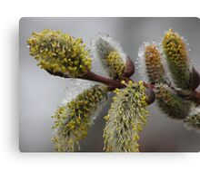 Blooming Willows Canvas Print