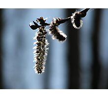 Silver Catkins Photographic Print