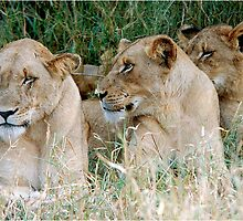 LAZY ONE WAY DIRECTION - The Kruger Park lions by Magriet Meintjes