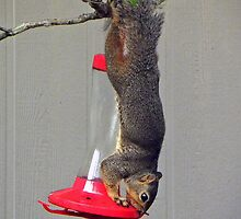 Squirrel Stealing Nectar by venny