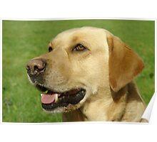 Labrador retriever (yellow / golden) Poster