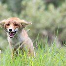 Three month old fox cub  by DutchLumix