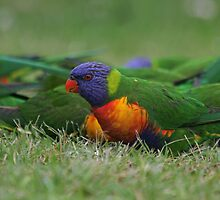 Rainbow Lorikeets by Tim Harper