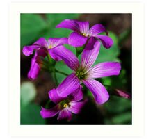 Tiny Oxalis Flower Art Print