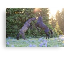 Two Pryor Mountain Stallions Fight in the Morning Sun Canvas Print