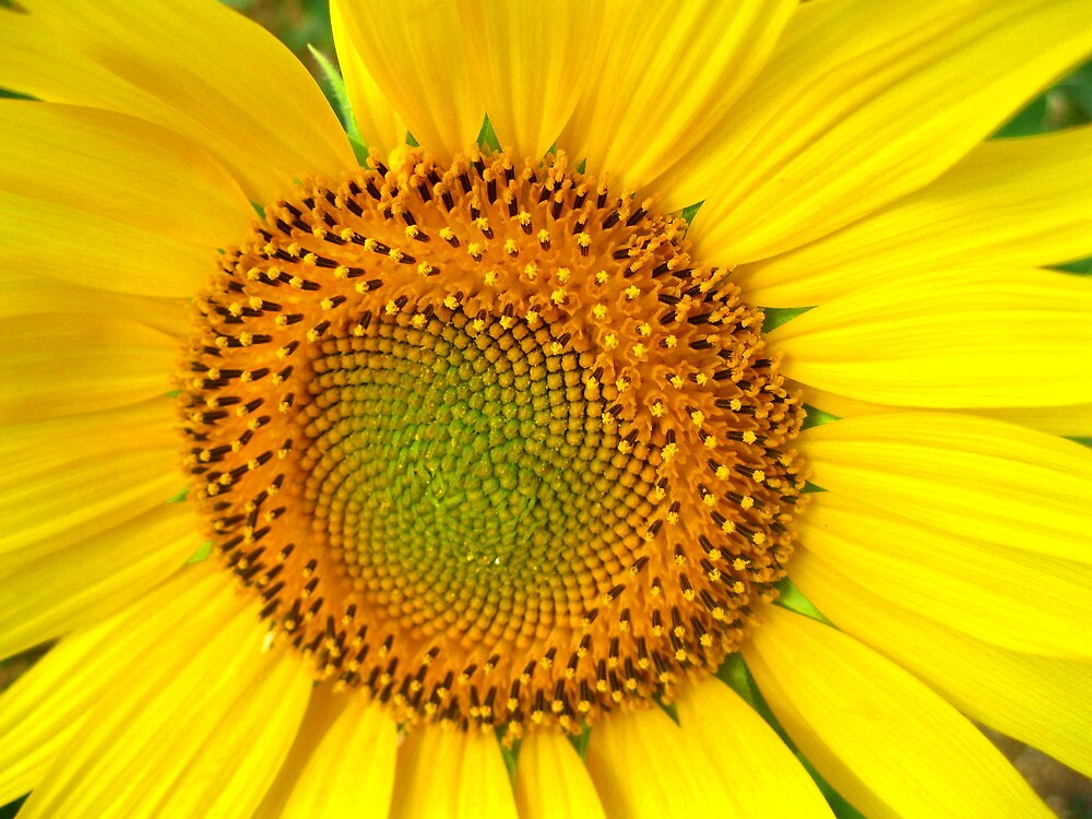 Yellow Sunflower by mairead62