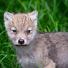 Arctic Wolf Pup Portrait  by Daniel  Parent