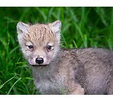 Arctic Wolf Pup Portrait  Photographic Print