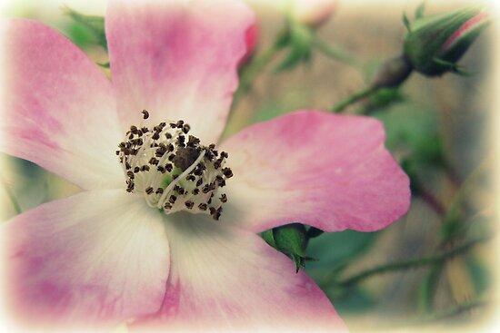 Vintage Pink by Vanessa Barklay