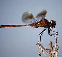 Dragonfly Eating by Paulette1021