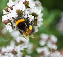 Pollinating the Oregano by missmoneypenny