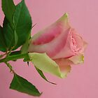 Pink rose on pink by John Butterfield