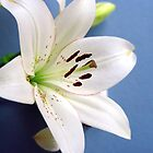 White lily on blue by John Butterfield