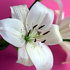 White lily on pink background by John Butterfield