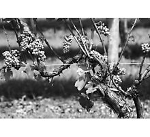 Long Island Grapes Photographic Print