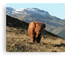 Highland coo (cow) Canvas Print