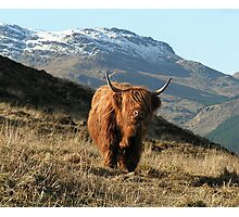 Highland coo (cow) Photographic Print