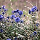 Blue Globe Thistle  by vbk70