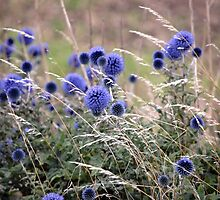Blue Globe Thistle  by vbk70