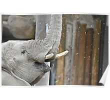 Momma Elephant Poster