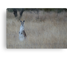 Western Grey Canvas Print