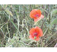 Poppies in a field Photographic Print