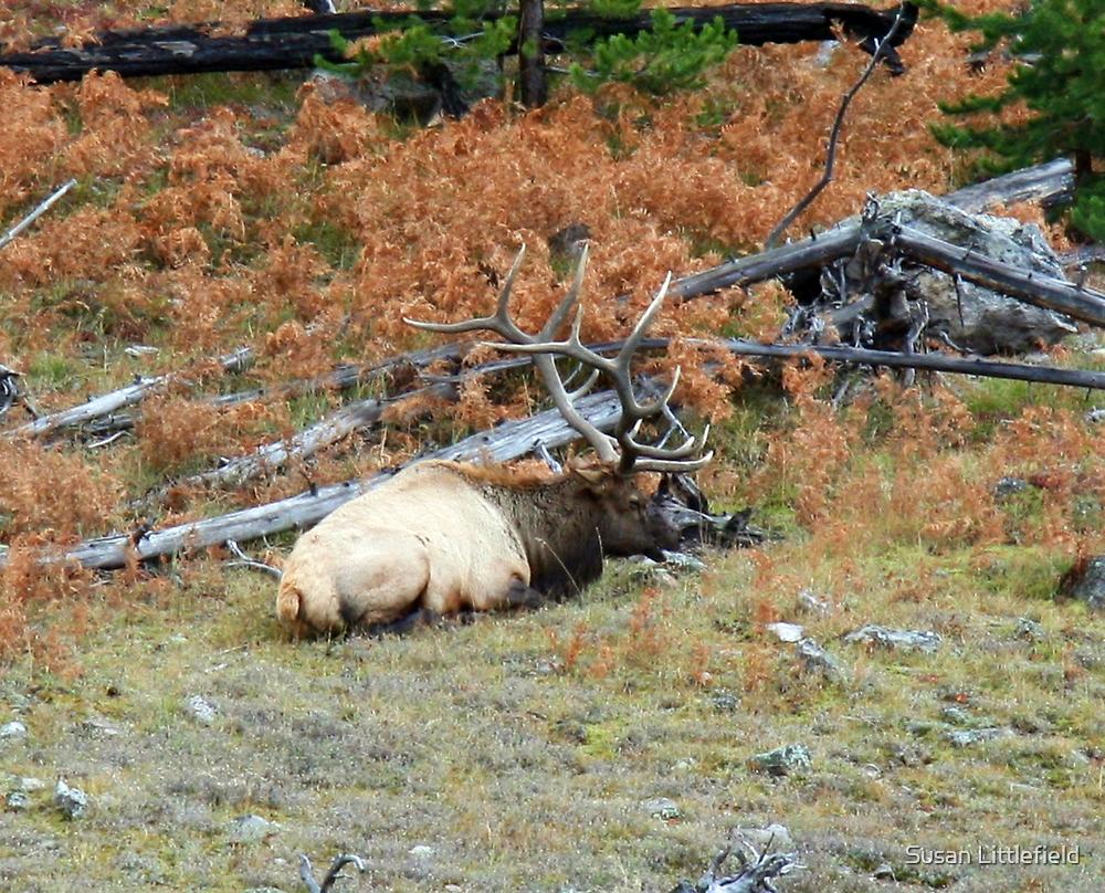 Yellowstone Elk by Susan Littlefield