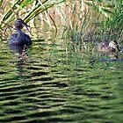 Female Mallard and Duckling by deb cole