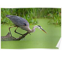 Great Blue Heron Hunts for Prey. Poster