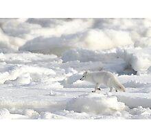 Arctic Fox #2, on the Tundra, Hudson Bay, Canada  Photographic Print