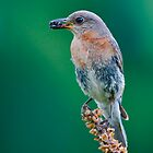 Female Eastern Bluebird by (Tallow) Dave  Van de Laar