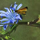 Chicory - Cichorium intybus   by jules572