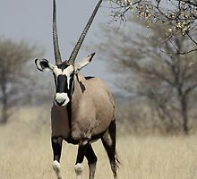 Gemsbok by Donald  Mavor