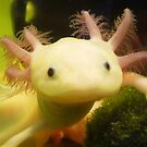 Young Axolotl by Earth-Gnome
