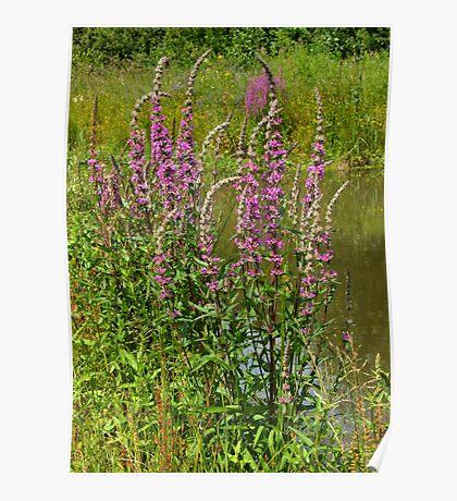 Lythrum salicaria......Purple LooseStrife  Poster