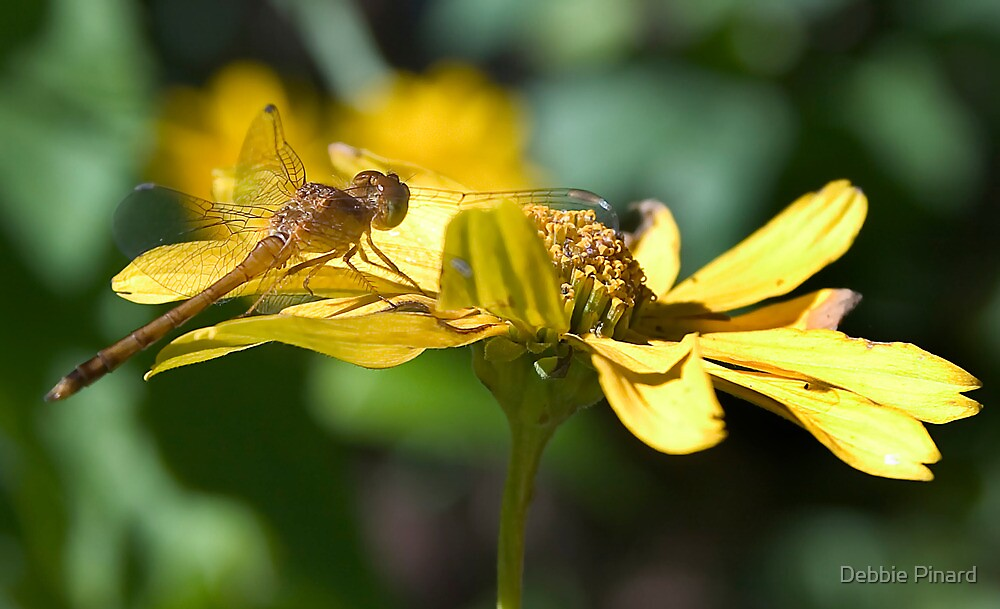 Dragonfly on a Daisy by Debbie Pinard