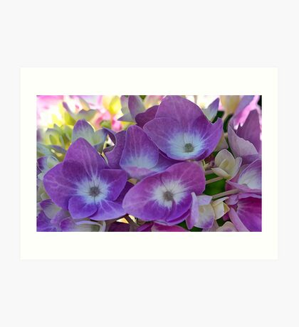 Lavender Hydrangea Blossoms - Early Morning Light Art Print