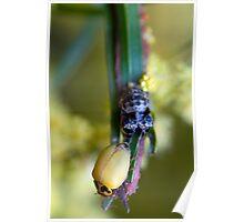 Newly shed Ladybug Poster