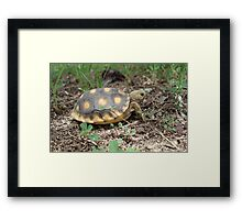GOPHER TORTOISE HATCHLING Framed Print