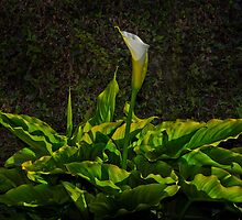 Lilly of the Valley  by Edwin  Catania