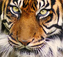 Tiger by cameraimagery