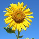 Sunflower by SusieG