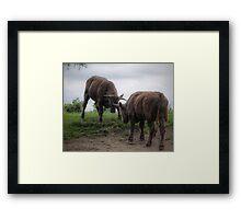 Bulls Framed Print
